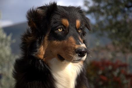 Portrait of Aussie Dog in the garden Stock Photo - 11598559