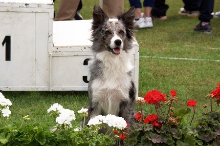 One of the winner of Agility Dog competition in Bevagna Stock Photo - 11786873