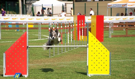 Border Collie dog jumping a hurdle for an agility sport competition Stock Photo - 11786875