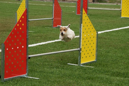 A small little active dog jumping a hurdle Stock Photo - 11786882