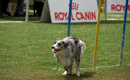 Border collie doing slalom training at agility course