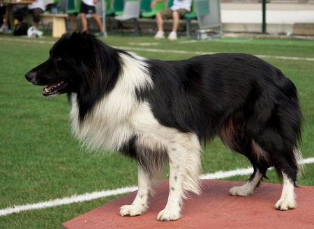 Border Collie during the agility dog competition Stock Photo - 11829298