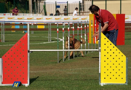 German shepherd is doing slalom in agility