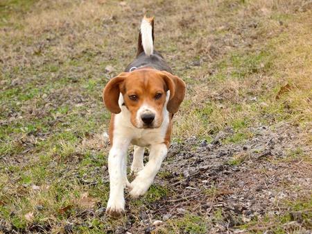 Happy Beagle dog running on field