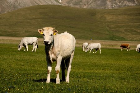 seaonal: Some swiss cows grazing in mountain landscape