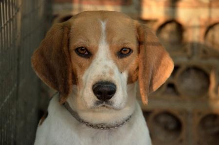 Image of the heat of Beagle dog Stock Photo