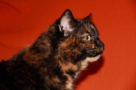 calico: The head of calico cat