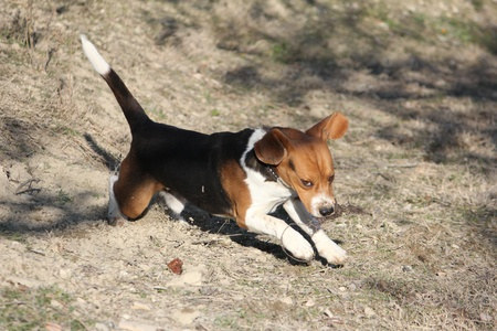 Beagle dog running on the meadow photo