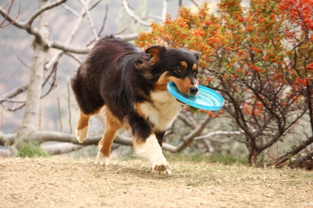 flying disc: Dog with flying disc Stock Photo