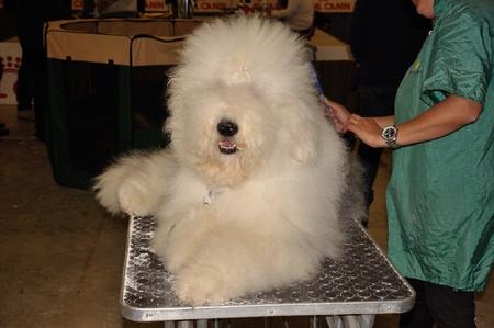 bobtail: Bobtail on a expo dog