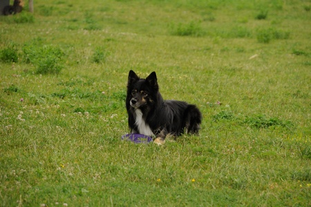 Border collie with a disc dog Stock Photo - 12284093