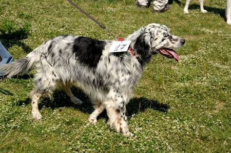 Hunting dog on the Dog Show in Foligno Stock Photo - 12272645
