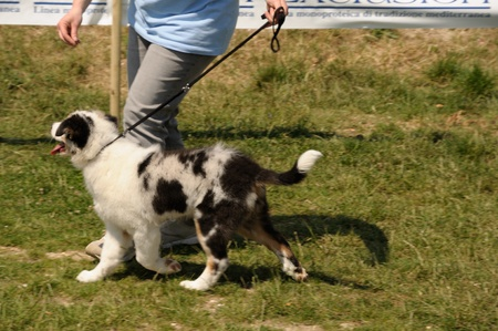 Australian shepherd puppy running durint the dog exhibition