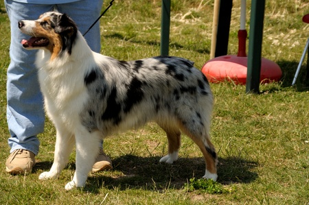 Blue merle Australian shepher dog during the dog exhibition