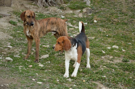 Two hunting dogs on field