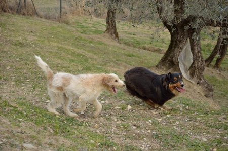 Two Dogs running in the field