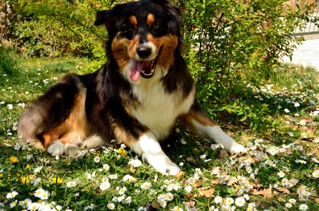 Tricolor dog on the flowers photo