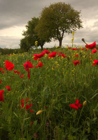 A field of poppies in Umbria photo