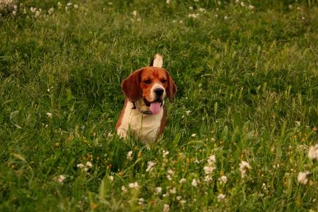 Beagle dog in the garden Stock Photo - 13497910
