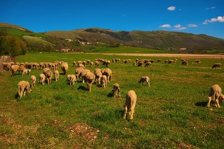 Sheeps in the italian mountain Stock Photo - 13498035