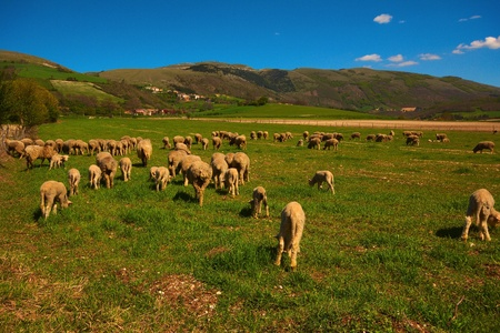 Sheeps in the italian mountain Stock Photo - 13498035