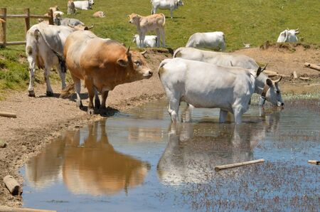 appennino: Cattle at water in Abruzzo