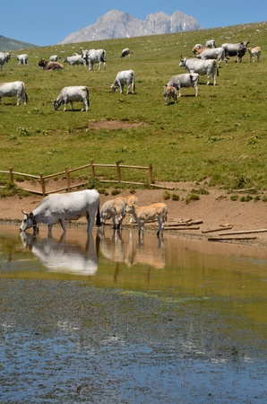 A group of cows on the lake Stock Photo - 14078732