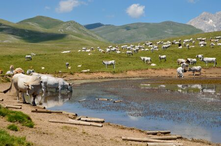 abruzzo: Abruzzo lake with many cows