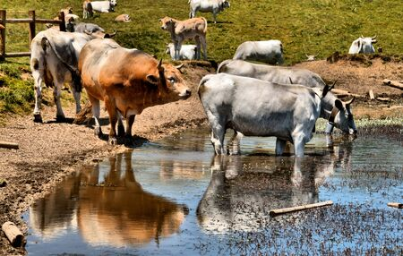 Cows on the abruzzo lake - HDR Stock Photo
