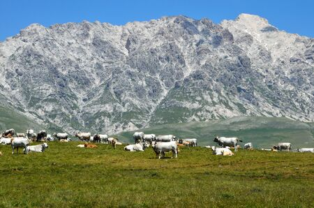 Cows on the mountain photo