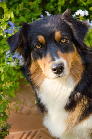 Portrait of Australian shepherd dog Stock Photo - 15656621