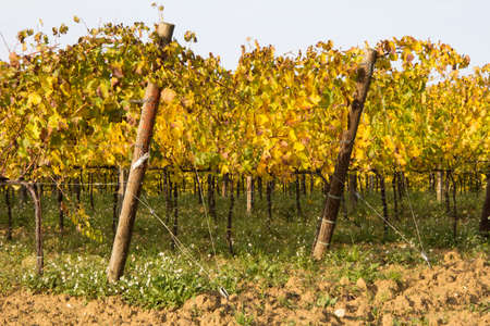 wineyard: Wineyard in umbra, autumn Stock Photo
