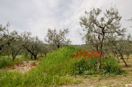 Old uliveto in umbria with red poppies photo