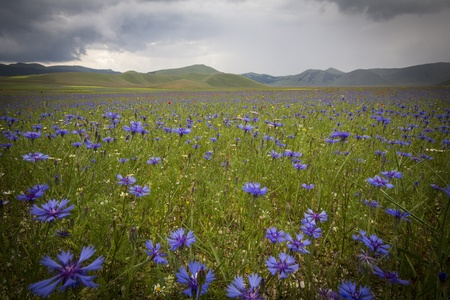 Umbria field of bluebottles after the storm photo