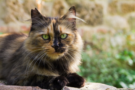 calico: Portrait of european calico cat Stock Photo