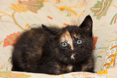 calico whiskers: Image of baby european cat