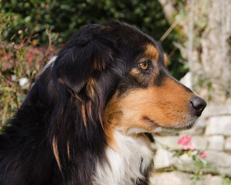 Profile of australian shepherd dog in the garden Stock Photo