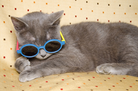 british shorthair: Portrait of crazy british shorthair kitten with summer sunglasses Stock Photo