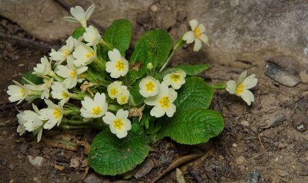 primroses: Yellow primroses in the garden Stock Photo