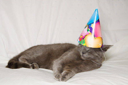gray cat: Adorable gray cat having a birthday party
