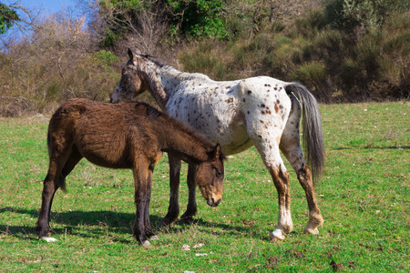 apennines: Two horses grazing in the italian apennines
