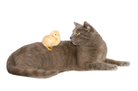 calico whiskers: A kitten plays with a baby chick on a white background