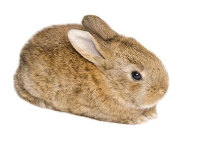 european rabbit: European rabbit or common rabbit isolated on white background
