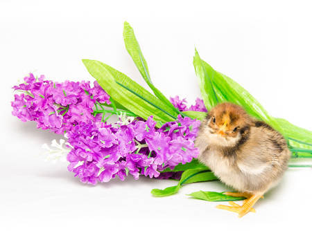 ry: Baby chick on violet flowers
