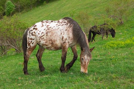appaloosa: Appaloosa horse on the meadow Stock Photo