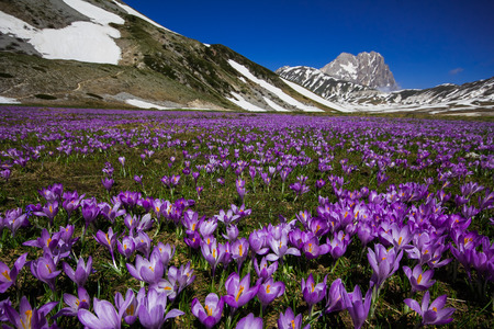 aquila: Beautiful landscape at Campo Imperatore plateau with crocus flowers