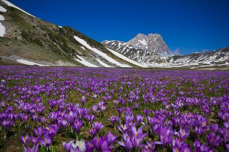 Carpet of wild mountain crocus flowers at Campo Imperatore, Abruzzo - Italy. Stock Photo