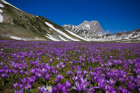 Carpet of wild mountain crocus flowers at Campo Imperatore, Abruzzo - Italy. Zdjęcie Seryjne