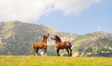 stallions: Fighting stallions at Campo Imperatore Abruzzo
