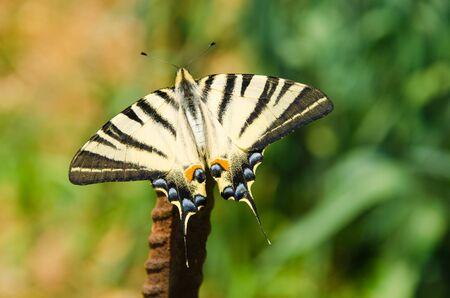 scarce: Butterfly in natural habitat scarce swallowtail Stock Photo